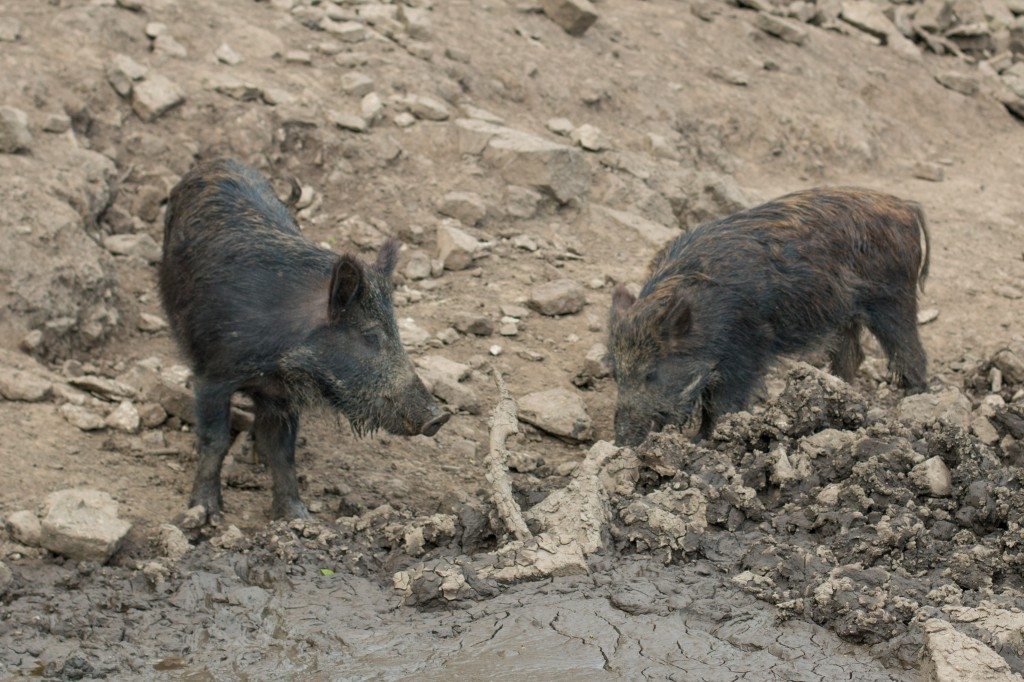 Wild boar having a conversation.